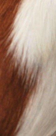 vache roux&blanc - Roussette